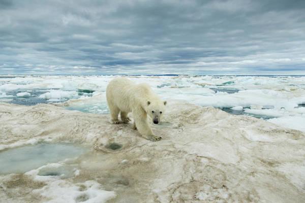 Wall Art - Photograph - Polar Bear On Hudson Bay Sea Ice, Canada by Paul Souders