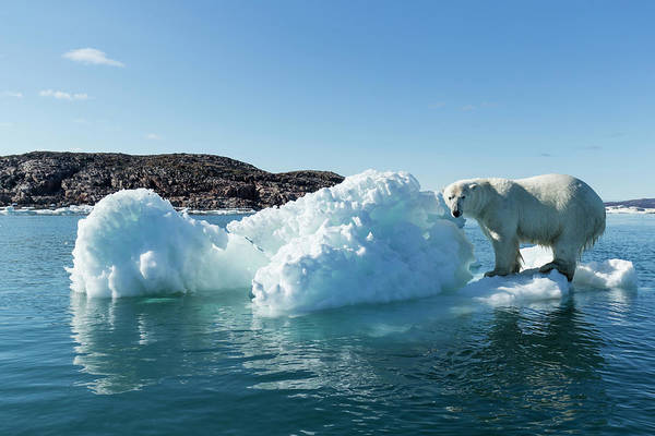 Wall Art - Photograph - Polar Bear On Iceberg, Hudson Bay by Paul Souders