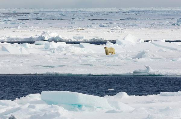 Ursidae Wall Art - Photograph - Polar Bear On Pack Ice by Dr Juerg Alean/science Photo Library