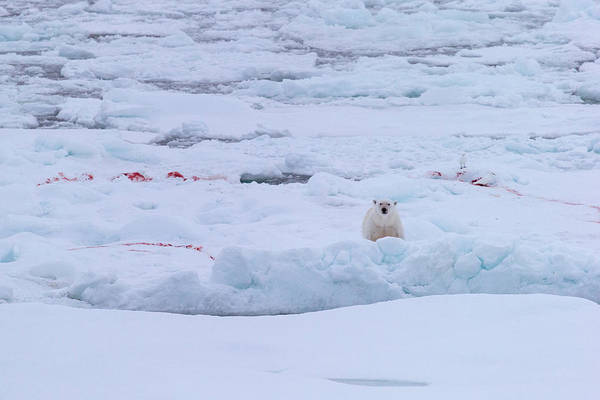 Ice Floes Wall Art - Photograph - Polar Bear On The Ice by Arctic-images