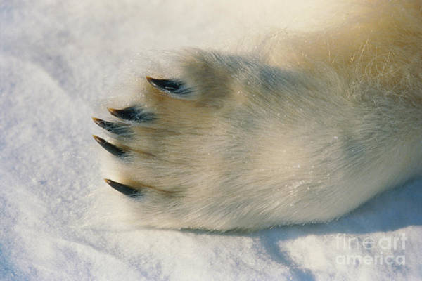 Photograph - Polar Bear Paw by Dan Guravich