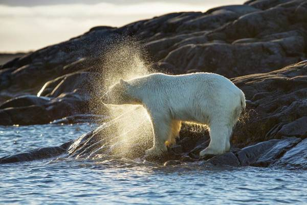 Chordate Photograph - Polar Bear Shaking Water Off by Peter J. Raymond