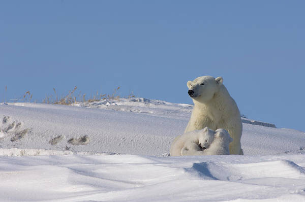 Sow Photograph - Polar Bear Sits Outside Her Den by Steven J. Kazlowski / GHG