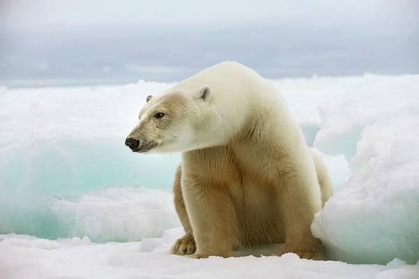 Warming Up Wall Art - Photograph - Polar Bear Sitting On A Ice Floe by Peter J. Raymond