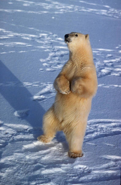 Dancing Bears Photograph - Polar Bear Standing by Dan Guravich