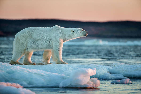 Wall Art - Photograph - Polar Bear Standing On Sea Ice by WorldFoto