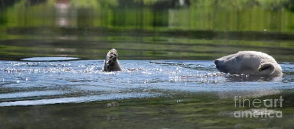 Photograph - Polar Bear Swim by Phil Banks