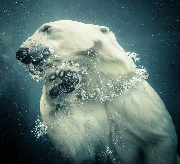 Underwater Photography Photograph - Polar Bear Swimming by Lise Ulrich Fine Art Photography