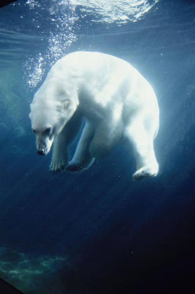 Bear Photograph - Polar Bear Swimming Underwater Alaska by Steven Kazlowski