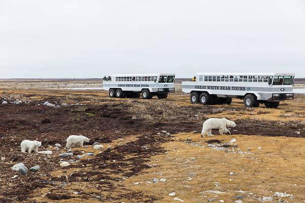 Wall Art - Photograph - Polar Bear Tour, Churchill, Manitoba by WorldFoto