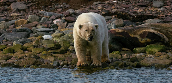 Wall Art - Photograph - Polar Bear Ursus Maritimus On Coast by Animal Images
