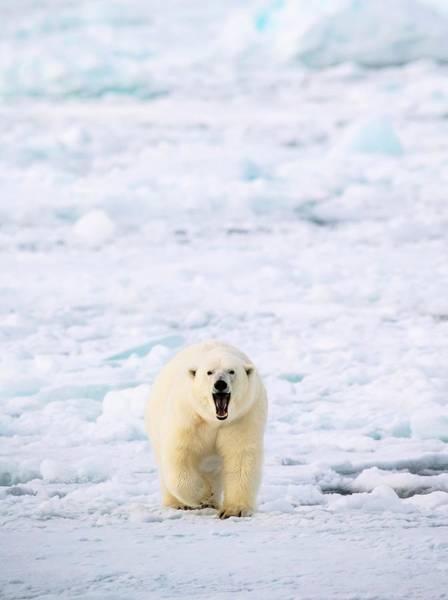 Chordate Photograph - Polar Bear Walking On A Ice Floe by Peter J. Raymond