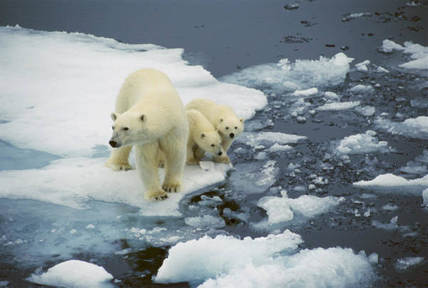 Photograph - Polar Bear With Cubs On Pack Ice by Ingrid Visser