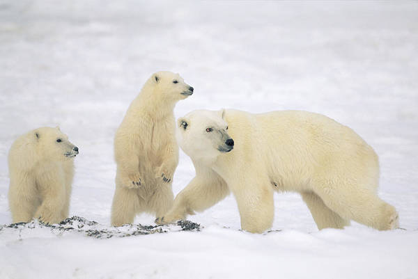 Photograph - Polar Bear With Two Cubs Churchill by Konrad Wothe