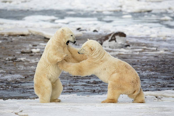 Strong Photograph - Polar Bears by Alessandro Catta