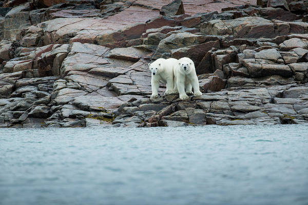 Wall Art - Photograph - Polar Bears Along Hudson Bay, Nunavut by Paul Souders