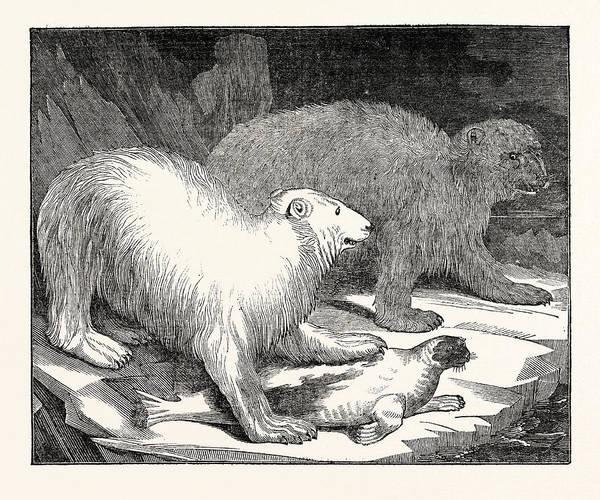 Polar Bear Drawing - Polar Bears And Seal by English School