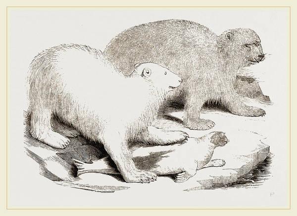 Polar Bear Drawing - Polar Bears And Seal by Litz Collection