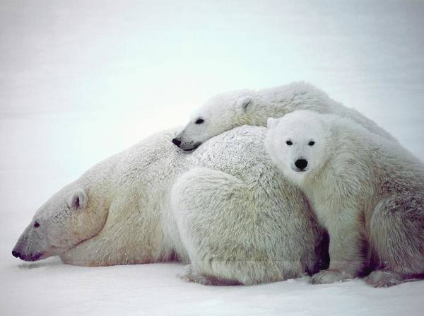 Polar Bear Photograph - Polar Bears by David Woodfall Images/science Photo Library
