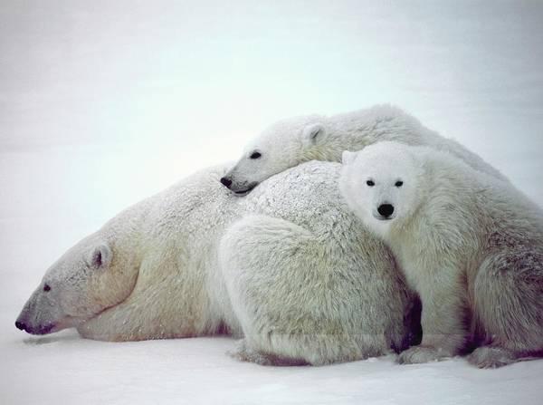 Canadian Fauna Photograph - Polar Bears by David Woodfall Images/science Photo Library