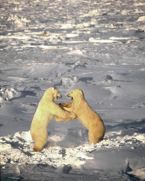 Polar Bear Photograph - Polar Bears Playing by David Woodfall Images/science Photo Library