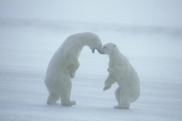 Wall Art - Photograph - Polar Bears Ursus Maritimus by Animal Images