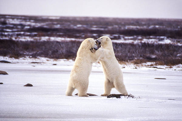 Photograph - Polar Dancing by Craig Ratcliffe