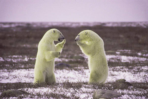 Polar Square Off Art Print