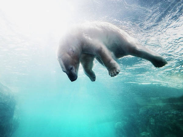 Undersea Photograph - Polarbear In Water by Henrik Sorensen