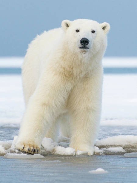 Born In The Usa Photograph - Polar_bear_6 by Dawn Wilson Photography