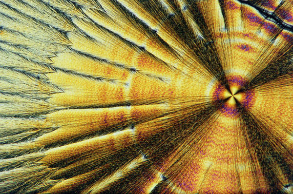 Wall Art - Photograph - Polarised Lm Of Crystals Of Vitamin C by Sinclair Stammers.