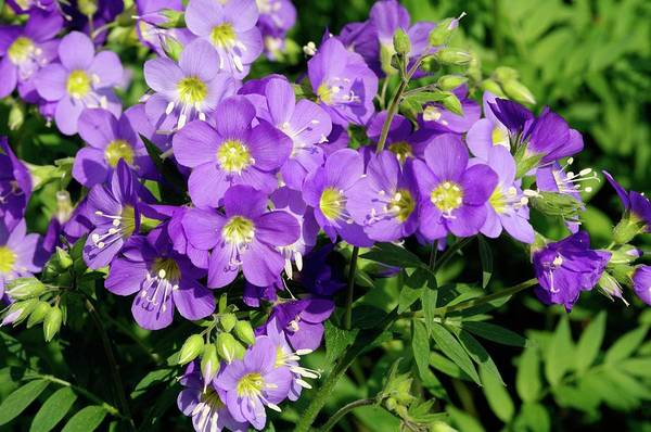 Ladders Photograph - Polemonium 'lambrook Mauve') by Neil Joy/science Photo Library