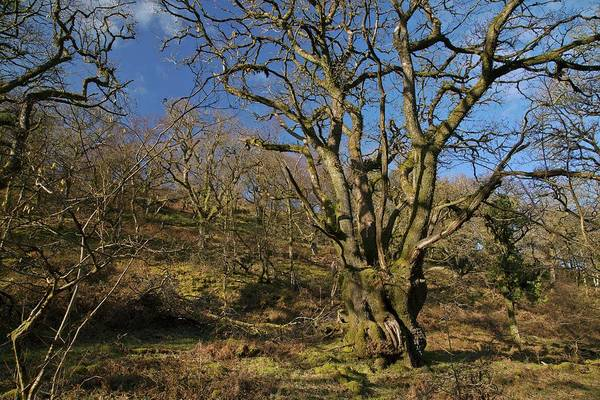 Exmoor Photograph - Pollarded Sessile Oak (quercus Petraea) Trees by Bob Gibbons/science Photo Library