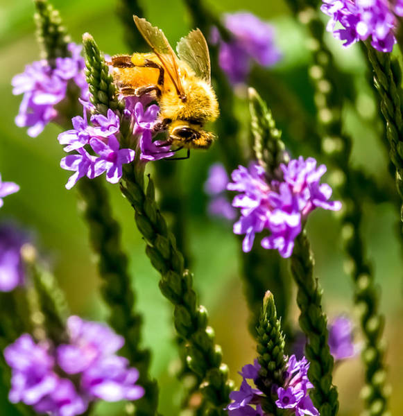 Lythrum Photograph - Pollinating Bee by Optical Playground By MP Ray