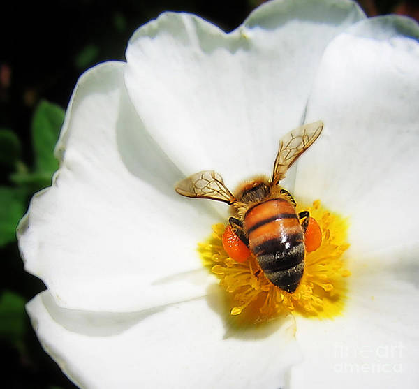 Photograph - Pollinating by Lisa Redfern