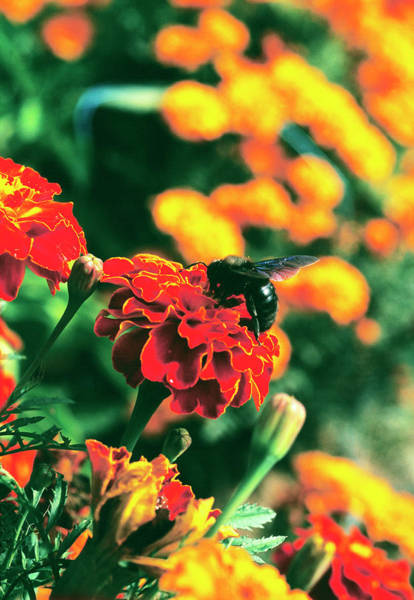 Pollination Photograph - Pollination by Antonia Reeve/science Photo Library