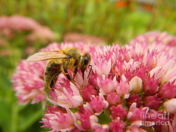 Orpine Photograph - One More Sip by Loreta Mickiene