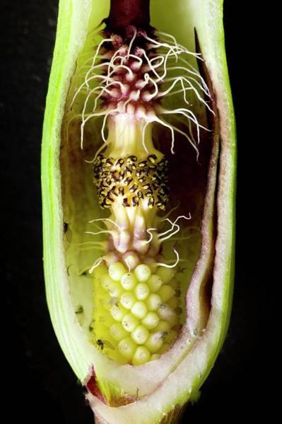 Carpel Photograph - Pollination Mechanism Of Arum Apulum by Dr Jeremy Burgess