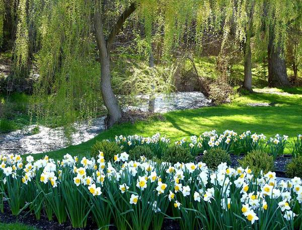 Wall Art - Photograph - Polson Park Daffodils by Will Borden