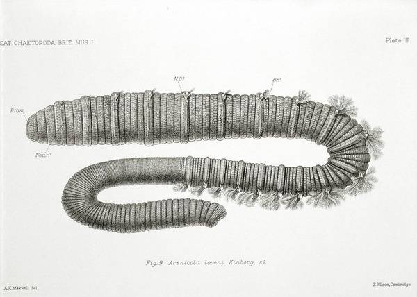 1912 Photograph - Polychaete Worm by Natural History Museum, London/science Photo Library
