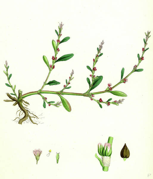 Wall Art - Drawing - Polygonum Aviculare Vulgatum Common Knot-grass by English School
