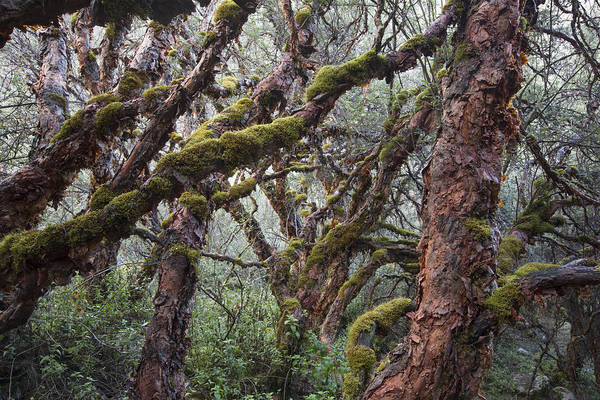 Rosaceae Wall Art - Photograph - Polylepis Forest Cordillera Blanca Peru by Cyril Ruoso
