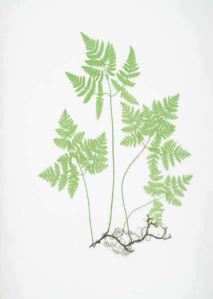 Organic Drawing - Polypodium Dryopteris by Artokoloro