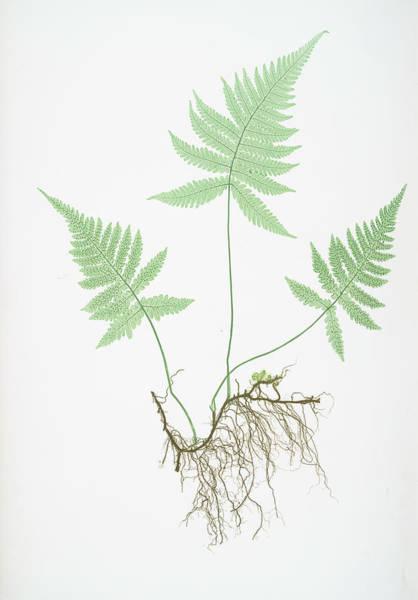 Organic Drawing - Polypodium Phegopteris by Artokoloro