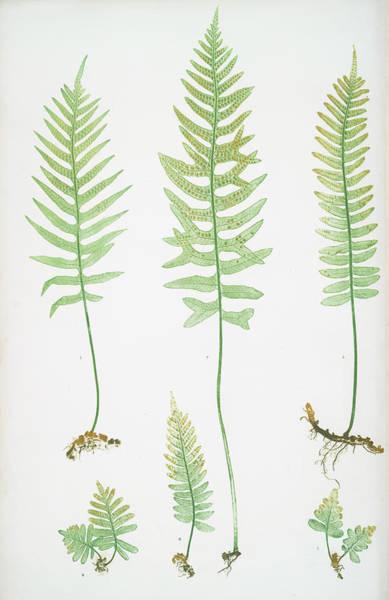 Organic Drawing - Polypodium Vulgare A,b,c,d, P. Vulgare Acutum E by Artokoloro