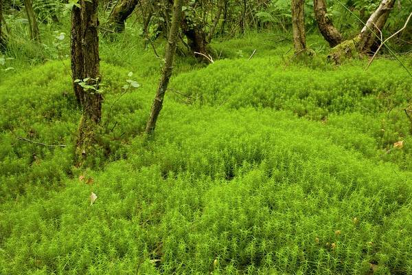 Scrub Photograph - Polytrichum Commune by Bob Gibbons/science Photo Library