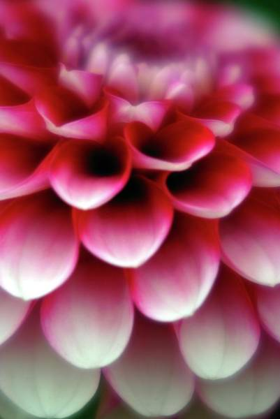 Asteraceae Photograph - Pom Pom Dahlia Little William by Ian Gowland/science Photo Library