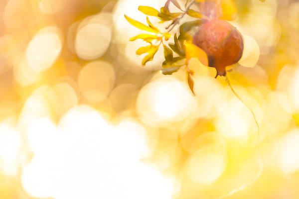 Photograph - Pomegranate Bokeh by Melinda Ledsome