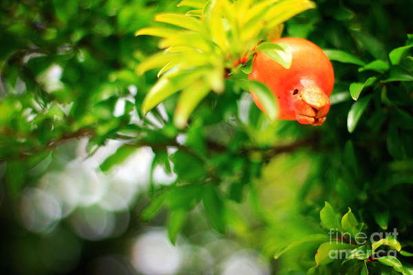 Photograph - Pomegranate On A Tree by Beverly Claire Kaiya