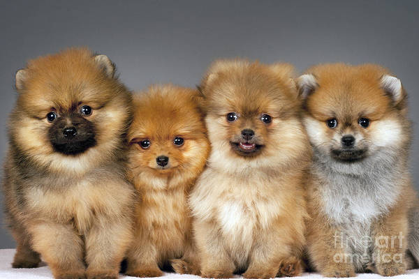 Wall Art - Photograph - Pomeranian Puppies by Borislav Stefanov